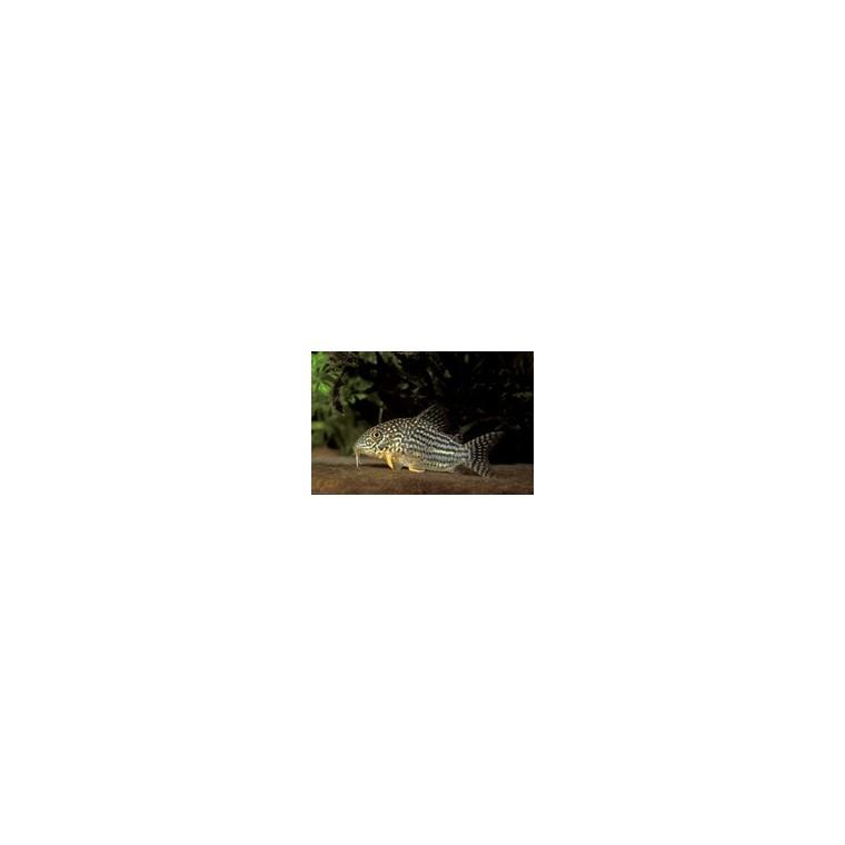 Corydoras sterbai 785226