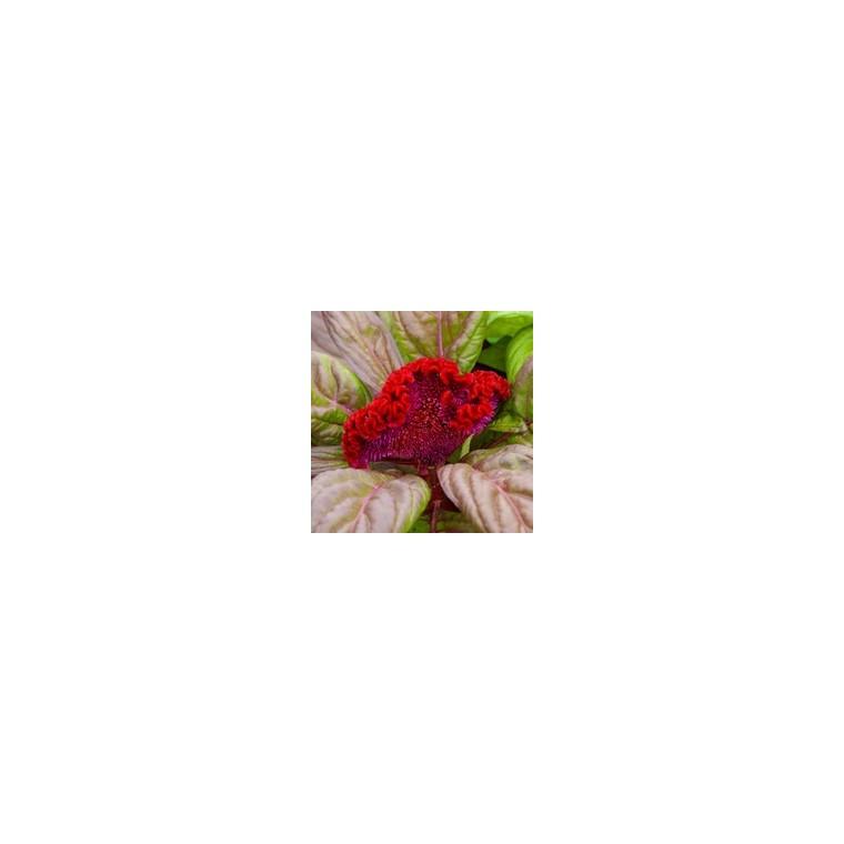 Amaranthe crête de coq. Le pot de 9 x 9 cm 217657