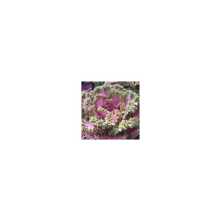 Chou décoratif. Le pot de 10.5 cm 809240