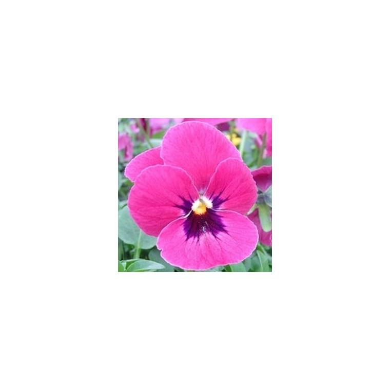 Pensée à grandes fleurs. La barquette de 6 plants 790540