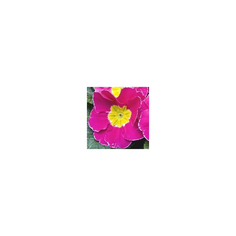 Primevère des jardins. Coupe flocon rouge 874994