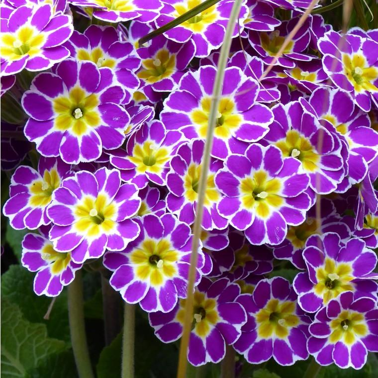 Primevère des jardins multicolore en barquette de 6 plants
