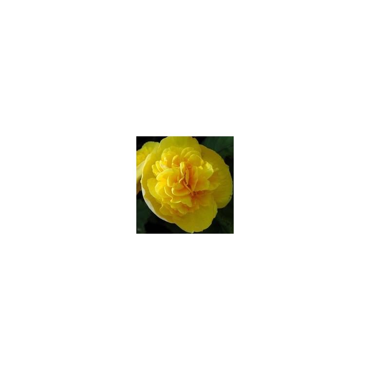 Bégonia tubéreux. La jardinière de 50 cm 128168