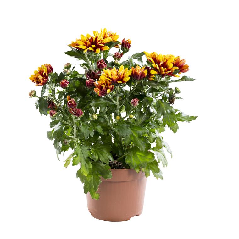 Mini Chrysanthème. Le pot de 10.5 cm 790859