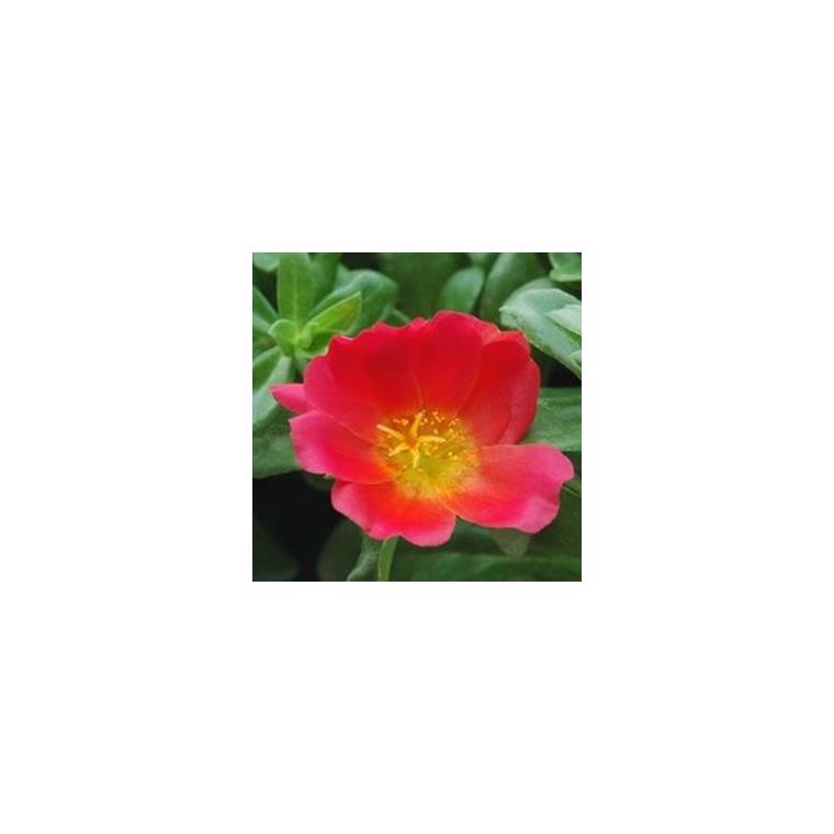 Pourpier à fleurs simples multicolore en pot de 1 L 790974