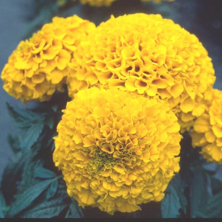 Rose d'inde. Le pot de 10.5 cm 790980