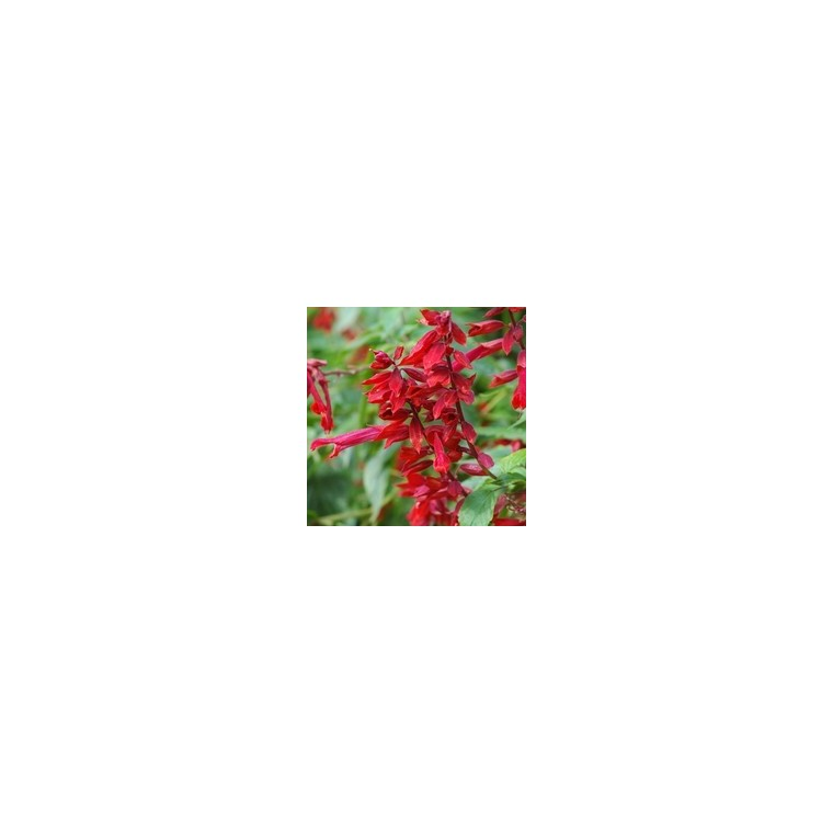 Sauge Rouge. Le pot de 9 x 9 cm 217997