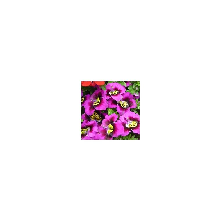 Schizanthus. Le pot de 1 litre 954798