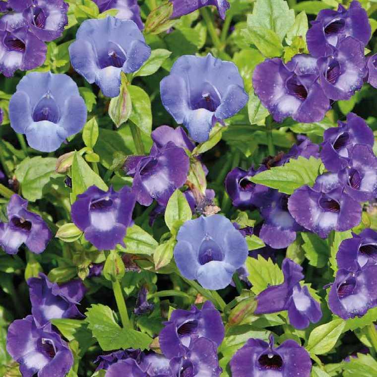 Torénia bleue en pot de 1 L Ø 13-15 214485