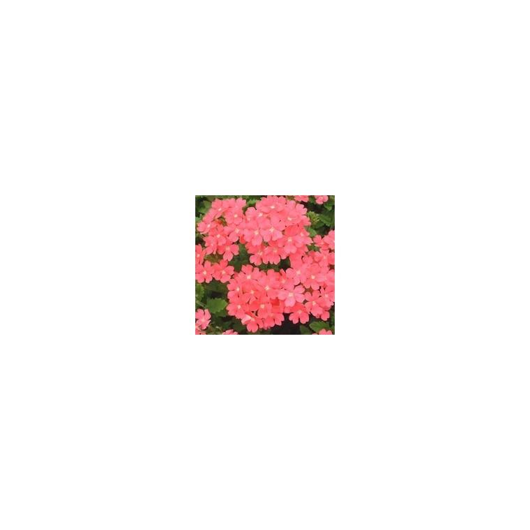 Verveine retombante rose. Le pack de 6 plants