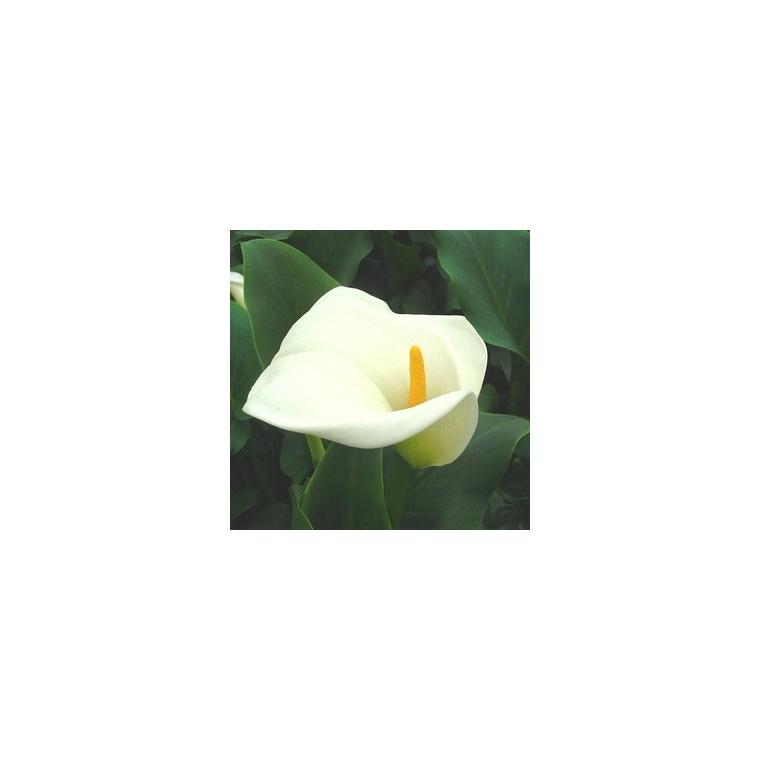 Arum blanc à grandes fleurs. Le pot de 1 litre 791048