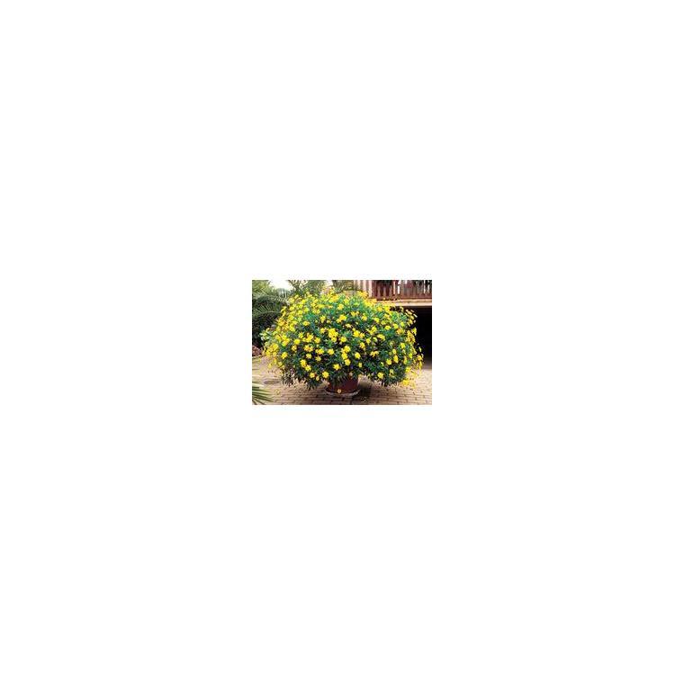 Buxus Sempervirens ou Buis Boule sur tige 40 cm en pot de 7,5 L 137892