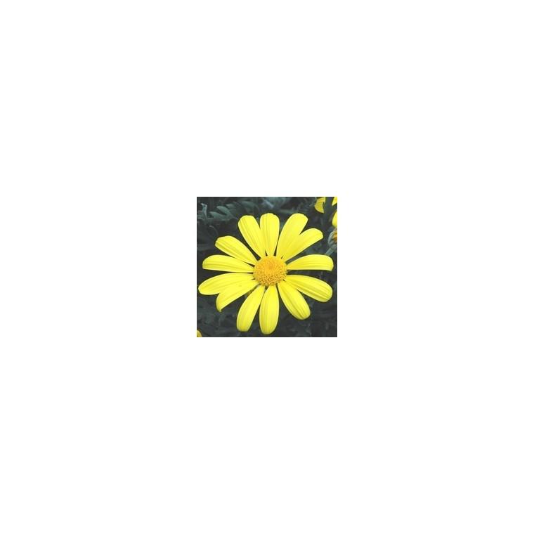 Euryops Chrysanthemoides. Le pot de 5 litres 253493