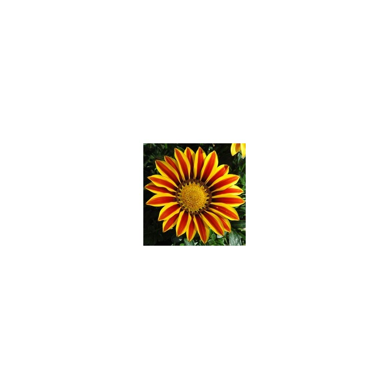 Gazania. Le pack de 6 plants 176367