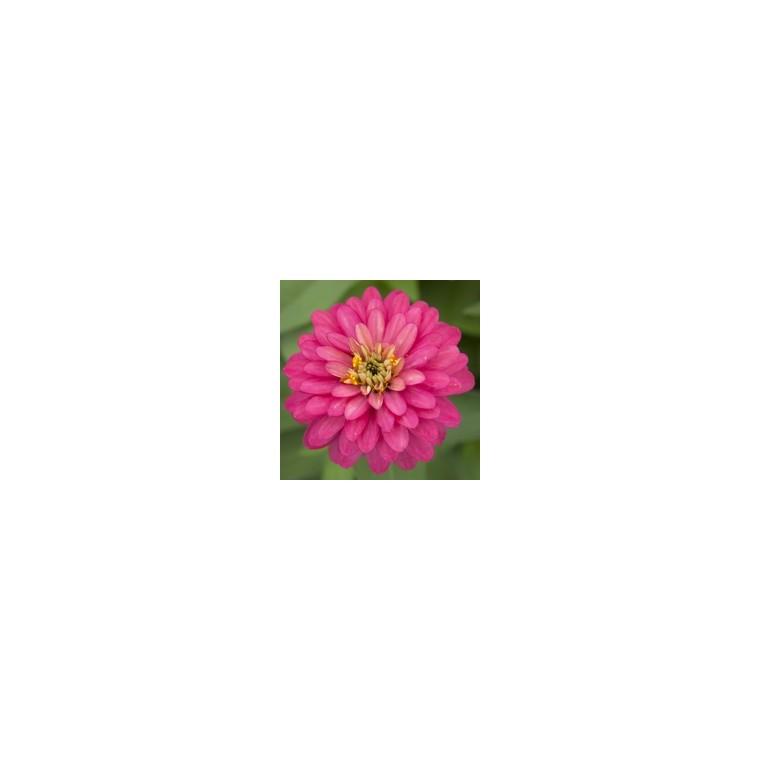 Zinnia à grandes fleurs. Le pot de 2,5 litres 791571