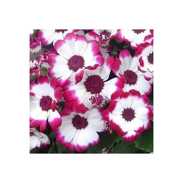 Cinéraire à fleurs. Le pot de 1 litre
