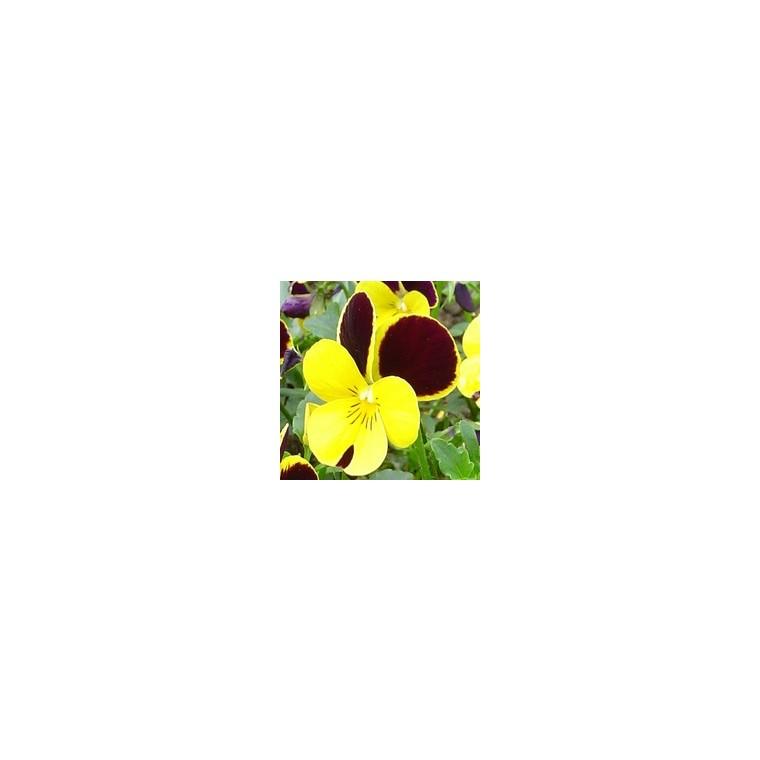 Viola cornuta multicolore en cagette de 16 mottes 453109