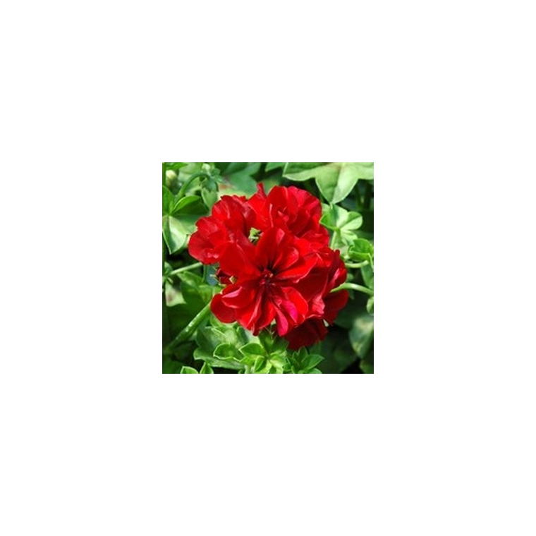 Géranium lierre à  fleurs doubles. Le pot de 1 litre 792089