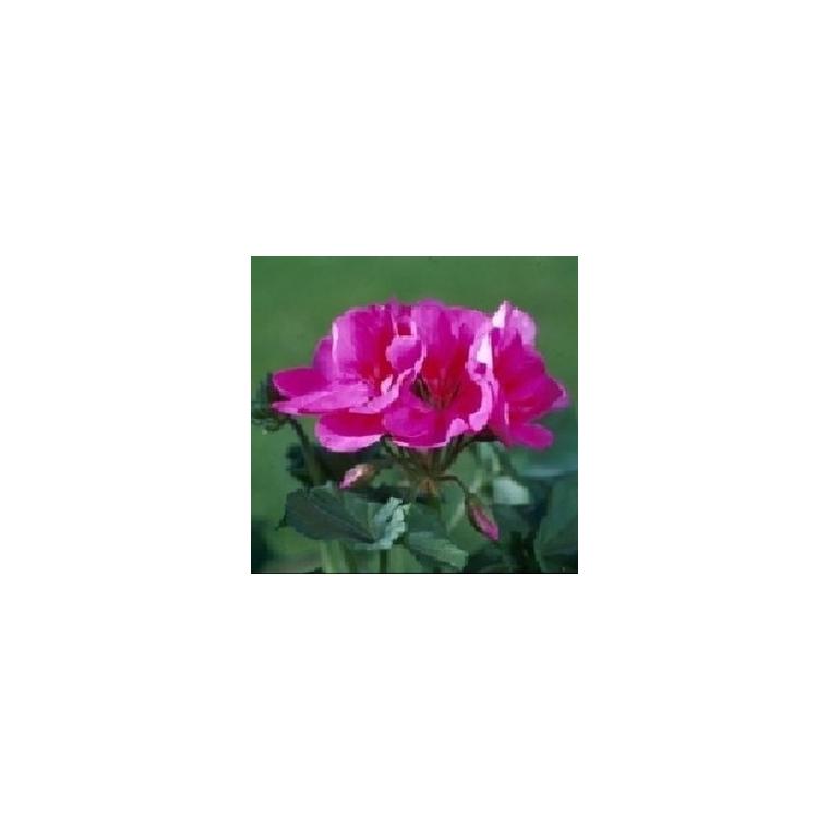 Géranium zonale. Le pot de 1 litre 792097