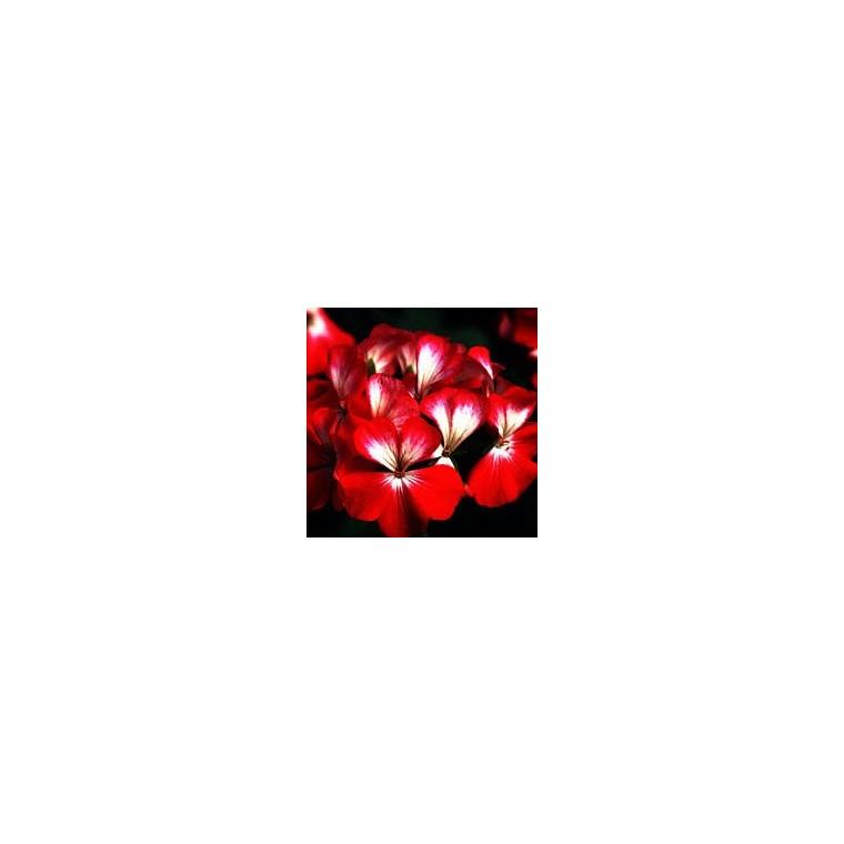 Géranium de semis. Le pot de 1 litre 792104