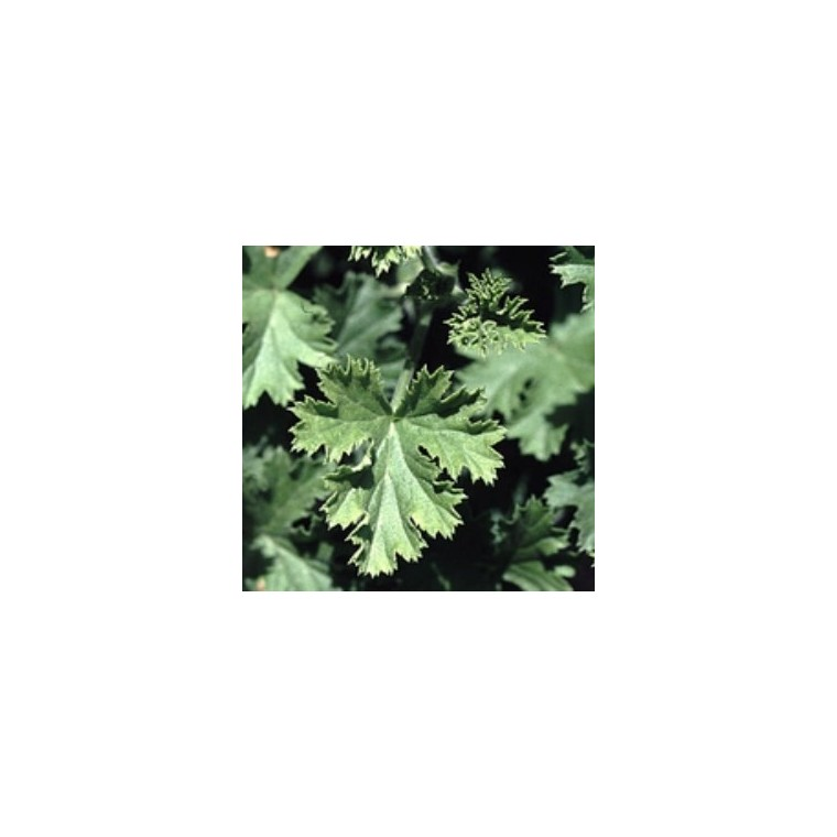 Géranium à feuillage odorant. Le pot de 1 litre 880481