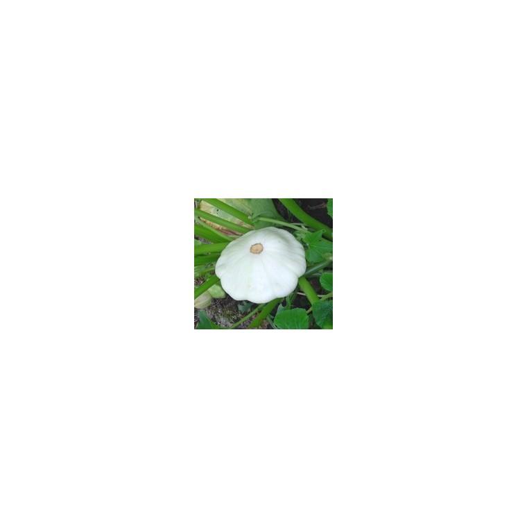 Courge Patisson Blanc bio. Le pot compostable de 10.5 cm 44380