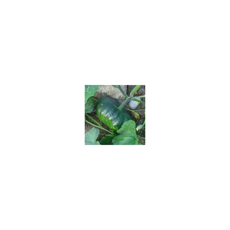 Courge Musquée De Provence bio. La barquette de 3 plants 447465
