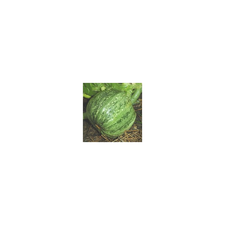 Courgette Ronde De Nice. Le pot compostable de 10,5 cm 41634