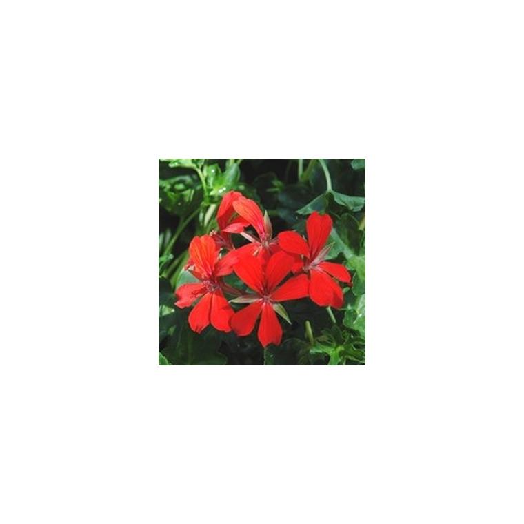 Géranium lierre à  fleurs simples. Le pot de 10.5 cm