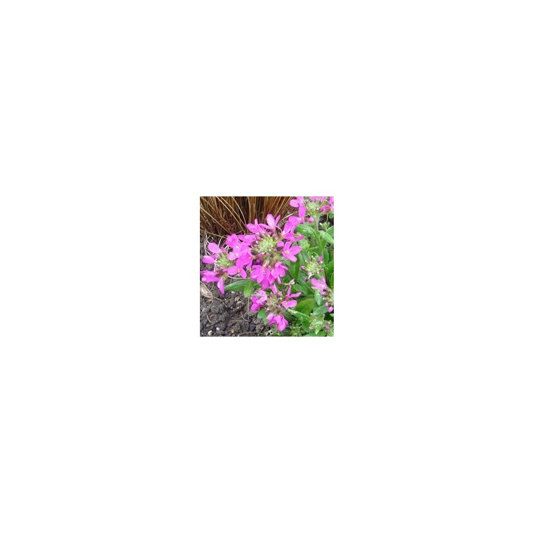 Arabette rose. La barquette de 6 plants 794362