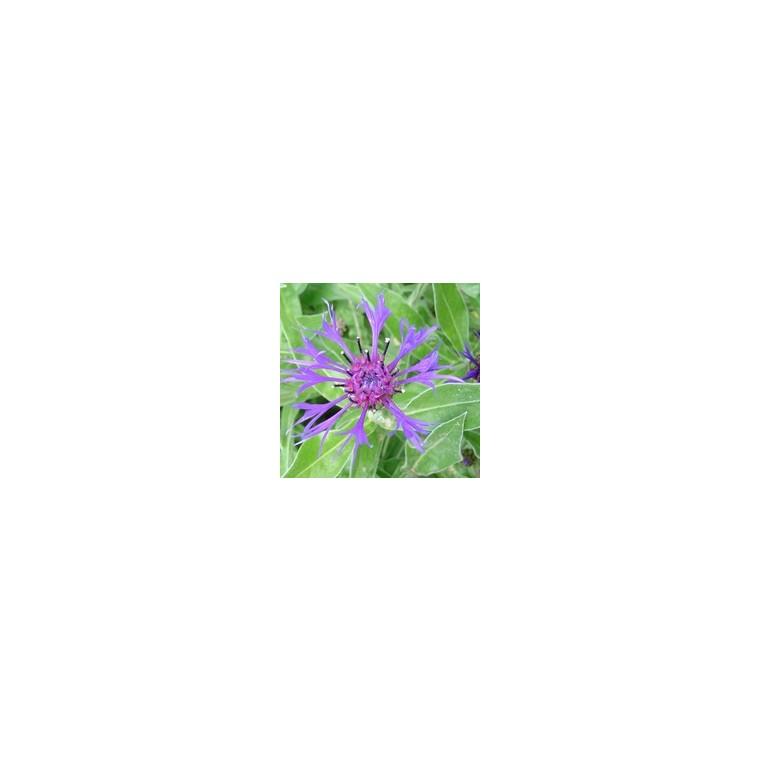 Centaurée vivace. Le pot de 3 litres 795235