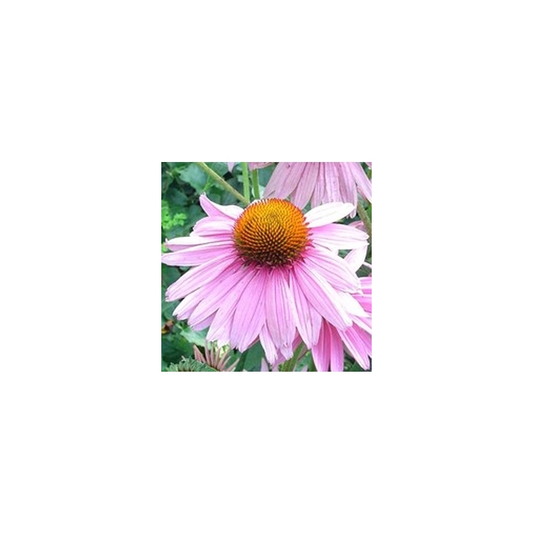 Echinacea Purpurea. Le pot de 1 litre 940448