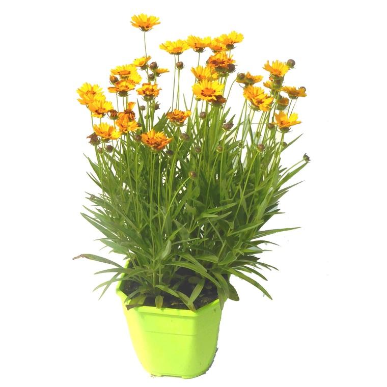 Coréopsis vivace. Le pot de 3 litres 795265