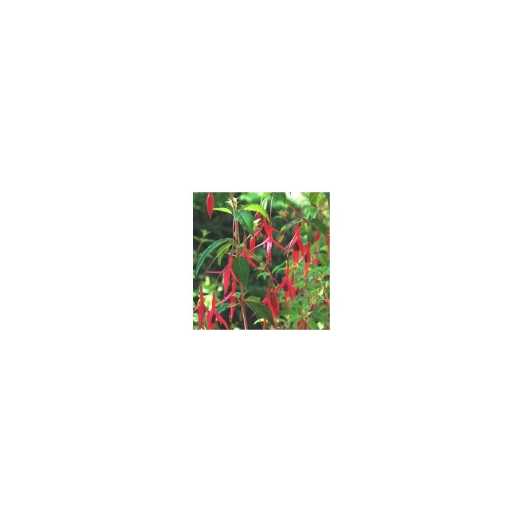 Fuchsia vivace. Le pot de 2,5 litres 795388
