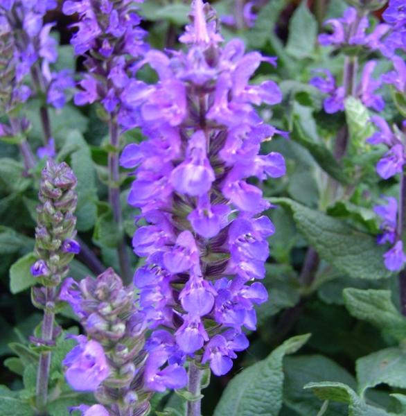 Salvia superba bleue en pot de 1 L 796223