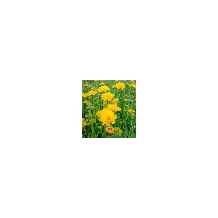 Coréopsis vivace. La barquette de 6 plants