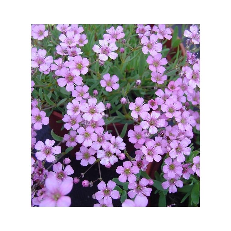 Gypsophila Repens Rosea. Le pot de 1 litre 795920