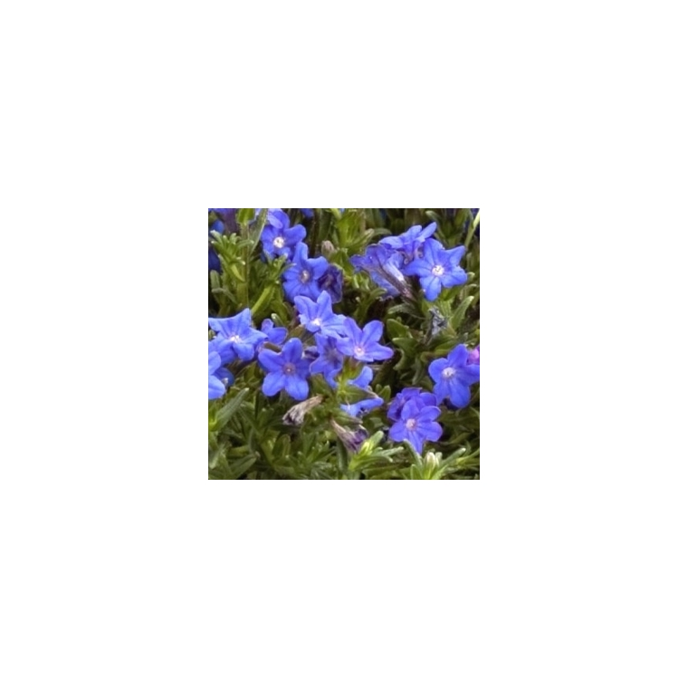 Lithodora. Le pot de 1 litre 796050