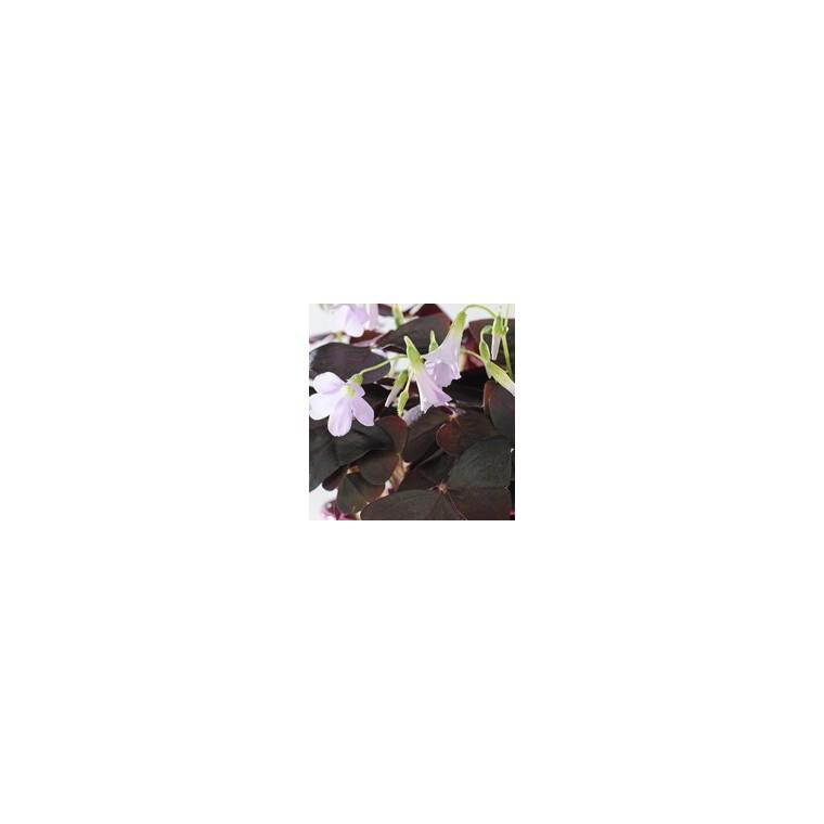 Oxalis trèfle à 4 feuilles. La coupe de 25 cm