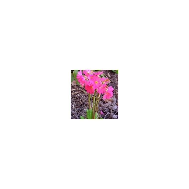 Primevère rose godet 9x9 cm 798989