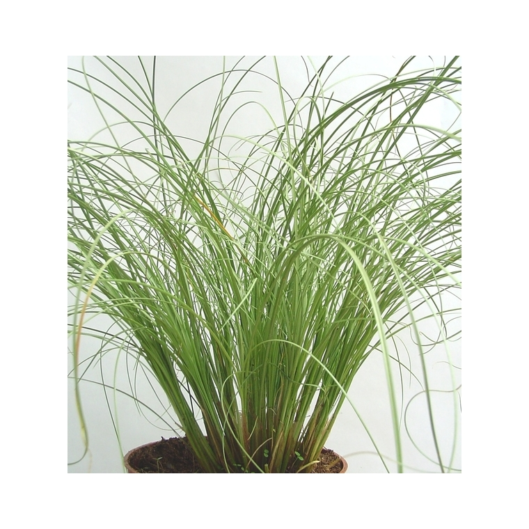 carex frosted curls. Le pot diam 12 cm 116023