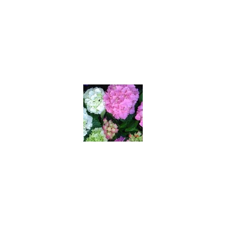 Hortensia Hydrangea Macrophylla divers coloris en pot de 3 L 812592