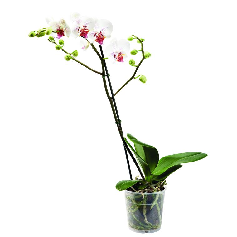 Phalaenopsis en pot Ø 9cm 797819