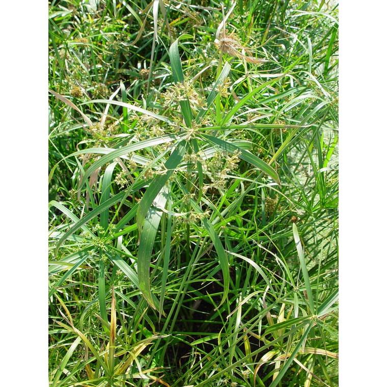Cyperus Alternifolius pot Ø14xH55 cm 923768