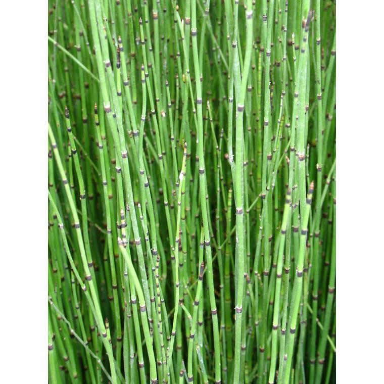 Equisetum japonicum 798873