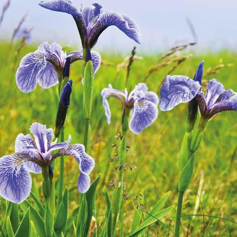 Iris de l'Alaska godet 9x9 cm 798882