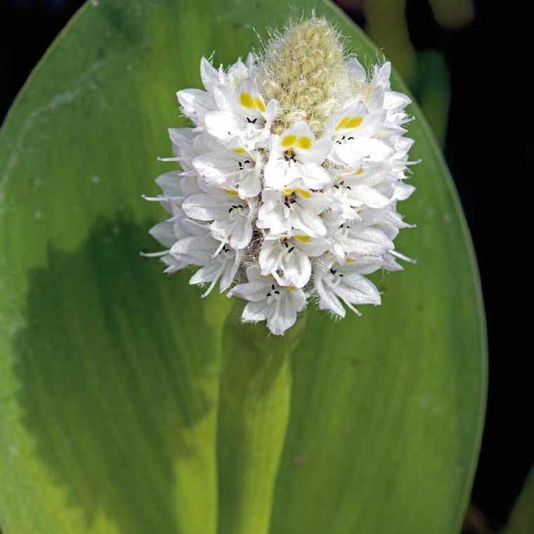 Pontédérie blanche à feuilles en cœur godet 9x9 cm 798903