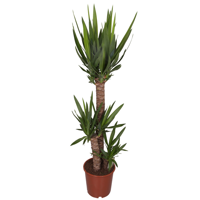 Yucca 3 Pieds Plantes Et Fleurs D Interieur Nos Produits Botanic