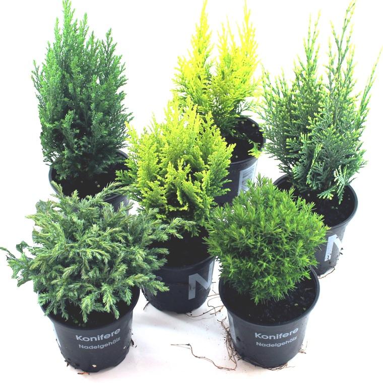 Coniferes Varies Le Pot De 1 Litre Plantes Pour