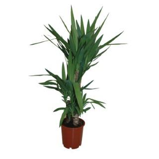 yucca plantes vertes maison botanic. Black Bedroom Furniture Sets. Home Design Ideas